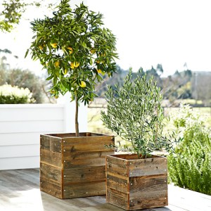 dwarf-bare-root-meyer-lemon-tree-o