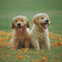 two-yellow-labrador-retriever-puppies_Chevanon Photography