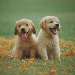 two-yellow-labrador-retriever-puppies_Chevanon Photography